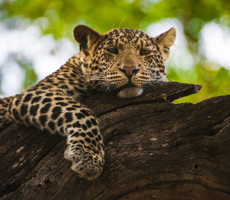 Chilling - We vonden deze 1 jaar oude luipaard met zijn broertje in een grote boom op onze laatste dag. We zijn daar ongeveer een half uur gebleven. Z