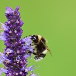 Busy bumblebee...