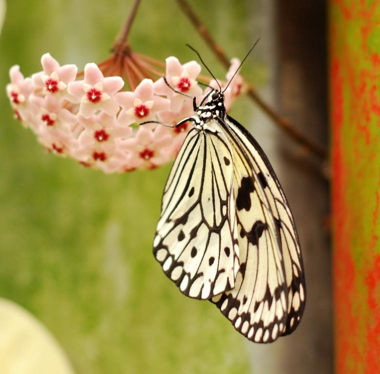 Vlinder - foto vlindertuin kwadendamme