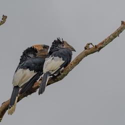 Uganda - Black & White Casqued Hornbill (Grijsoorneushoornvogel)