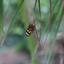 Tijger passiebloemvlinder