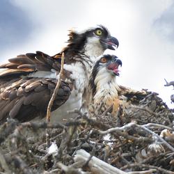 Osprey Visarend