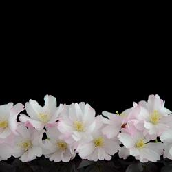 Bloesem / Blossom