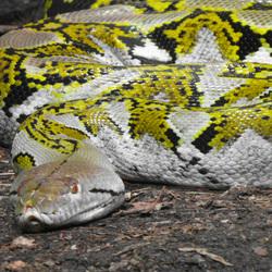 Sinuous Snake