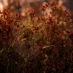 Spinneweb in de ochtend....