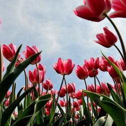 Tulpen, april 2014