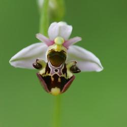 Bijen orchidee