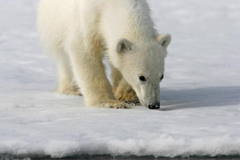 Even snuffelen - Nog even in ijsberenland... deze foto is al van een hele tijd geleden. Op de foto is een 1 jarig ijsbeer jong te zien, waarbij het jo