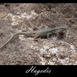 Hagedis