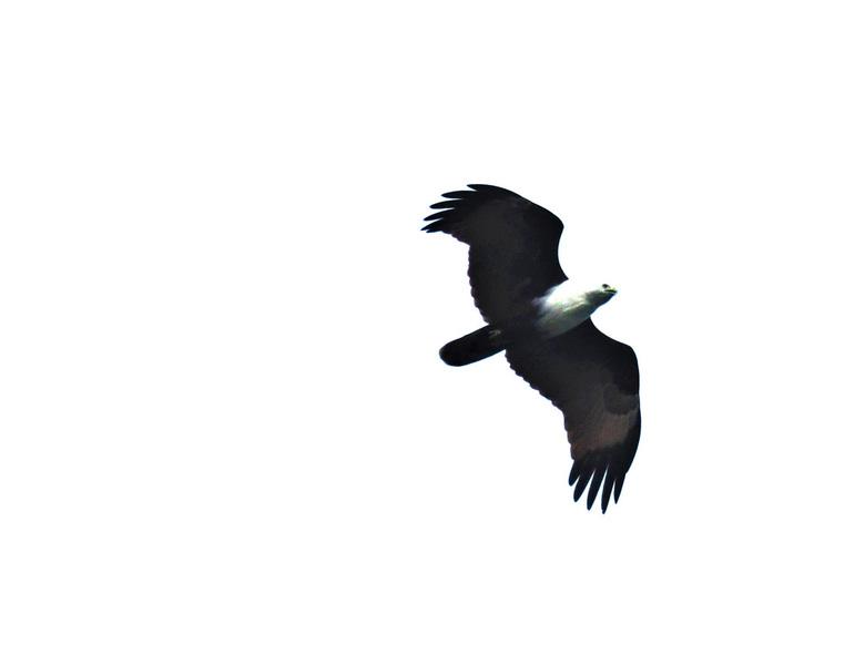 Mijn reis in beeld.  - Hier een  opname toen hij over mij heen vloog.  het is een redelijk grote vogel  met een flinke spanwijdte. <br /> <br />  Be