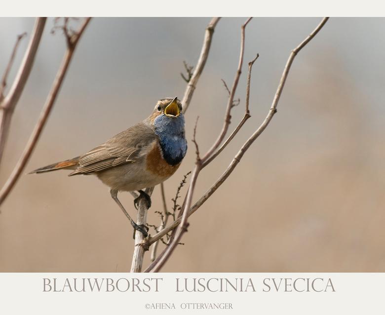 Blauwborst  Luscinia svecica - Vandaag een rondje Lauwersmeer gedaan, en wat een feest, zoveel vogels! En dan ook nog de blauwborst, na drie jaar &quo