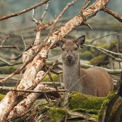 Observerend hert