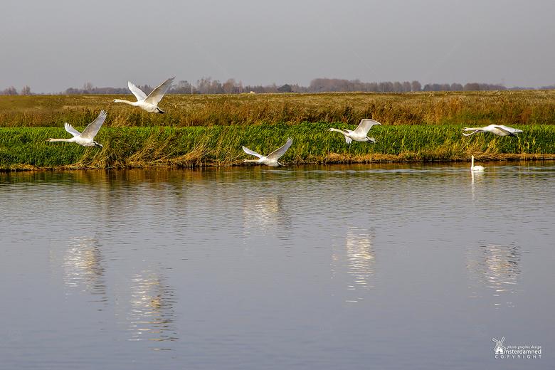 Zoetermeer - Deze zwanen kwamen laag vliegend voorbij om aan de andere kant van de sloot af te buigen en hoogte te maken. Dus ik kreeg ze niet los van