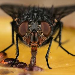 De roodwangbromvlieg bezig met het opzuigen van het sap van de kiwi via zijn zuigbuis.