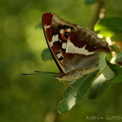 Grote Weerschijn vlinder