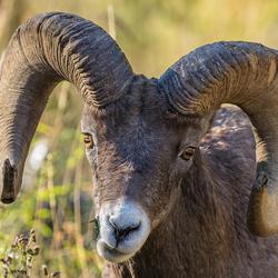 Bighorn Sheep YNP
