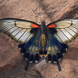 Papilio Lowi.