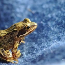 Op verzoek : Frog in blue !
