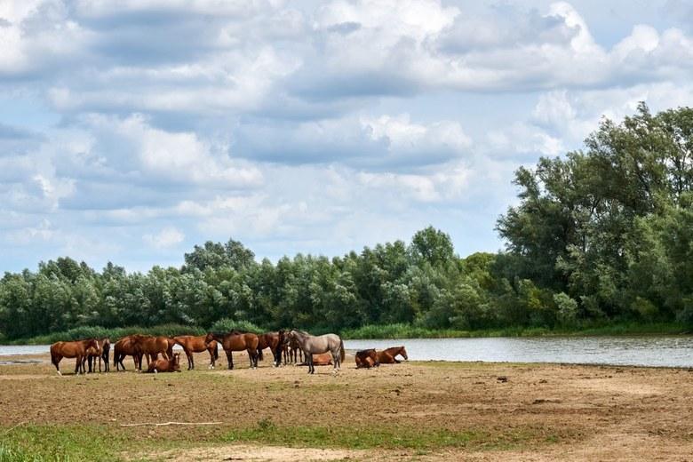 Paarden - Rondwandeling bij Wageningen. Paarden in de uiterwaarden