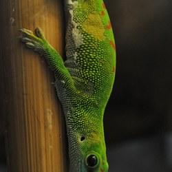 Gecko in Emmen