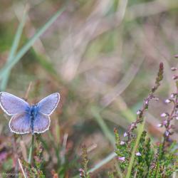 Icarus blauwtje op de hei