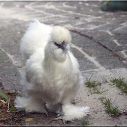 Onze trotse witte kip