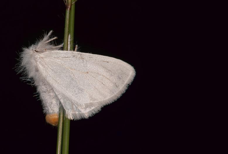 Donsvlinder - Donsvlinder. Algemeen voorkomende nachtvlinder. Door gebruik van diafragma was de vlinder mooi te isoleren van de achtergrond.
