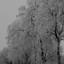 DSCF9941zwartwit sneeuw op berken
