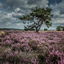 Heide in bloei op de Veluwe