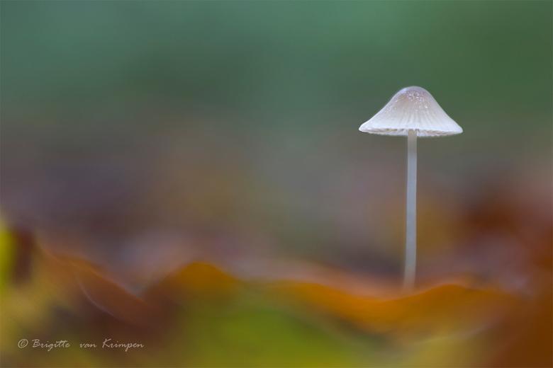 Pastel Forest - Iedereen bedankt voor de fijne reactie op mijn vorige upload<br /> Mycena gefotografeerd met de Lensbaby Sweet 50 en 8 mm macro conve
