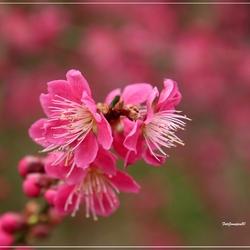 Prunus....
