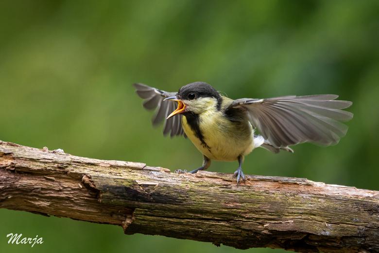 Honger!! - Het is nu de tijd dat de jonge vogels gaan uitvliegen. Geweldige tijd dus! Deze jonge koolmees kon alles al, maar vond wel dat er nog echt