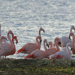 Flamingo's in Zuid Holland