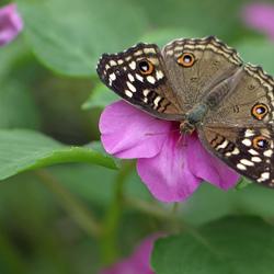bruine vlinder (2)