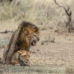 Parende leeuwen in Tanzania