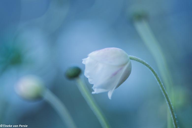 End of the summer - Aan het eind van de zomer stond deze nog in bloei, erachter de uitgebloeide knoppen van de anemoon. gemaakt met mijn Helios lens.