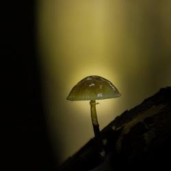 Mycena in prachtig licht gevangen