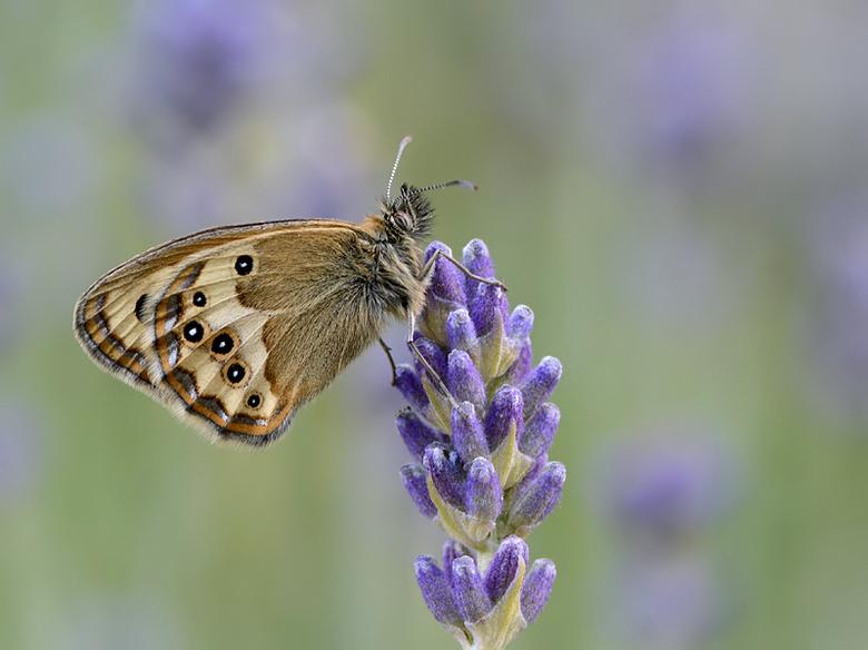 Bleek Hooibeestje - In het Zuiden van Europa vliegt het Bleek Hooibeestje.<br /> Gefotografeerd vanaf statief.