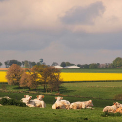 Bewerking: De koeien van Veules-les-Roses