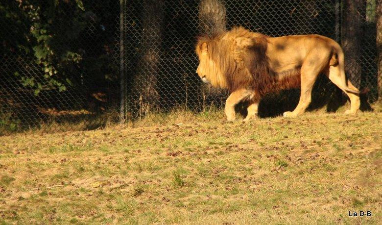 zijne majesteit,koning leeuw.