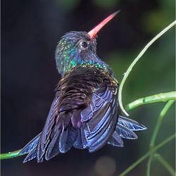 kolibrie 05