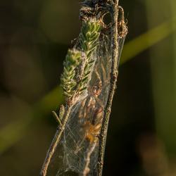 Twee spinnen in een soort cocon