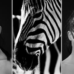 Glamour Zebra