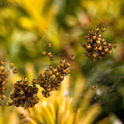 Spiderbabies-2