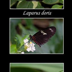 Laparus doris