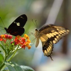 vlinders in burgers zoo de mangrove