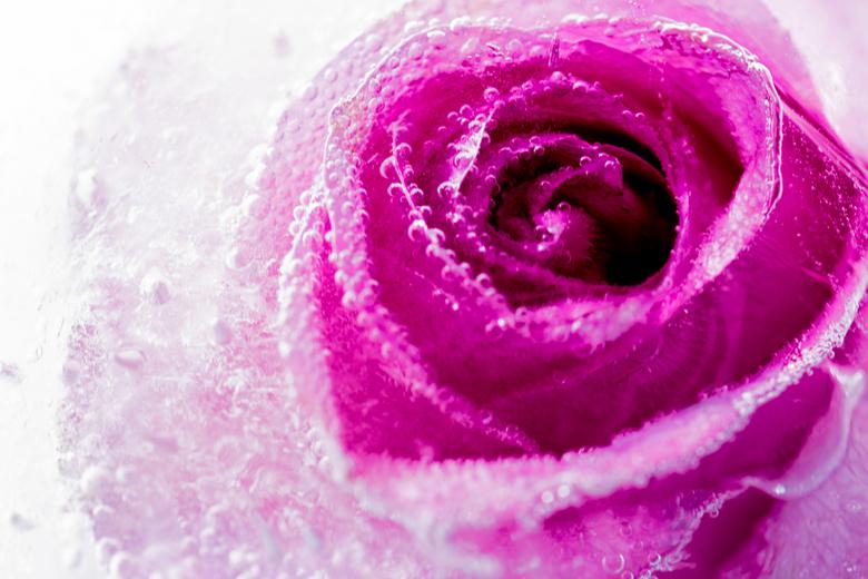 Cold Love - Een roze roos bevroren in ijs, met heel goed zichtbare luchtbellen.