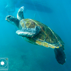 Zeeschildpad op Tenerife