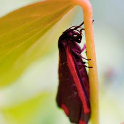 Sint- jacobsvlinder