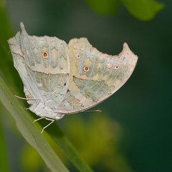 Morpho Polyhemus.